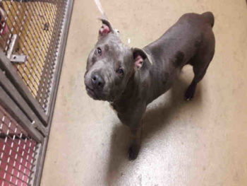 Bella is a female blue and white pit bull blend at the Southern shelter in Bonita. She is 1 year, 1 month old and her ID number is A1755568.