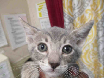 Bilbo is a 2-month-old blue tabby at the Central Shelter in San Diego. His ID number is A1790740.