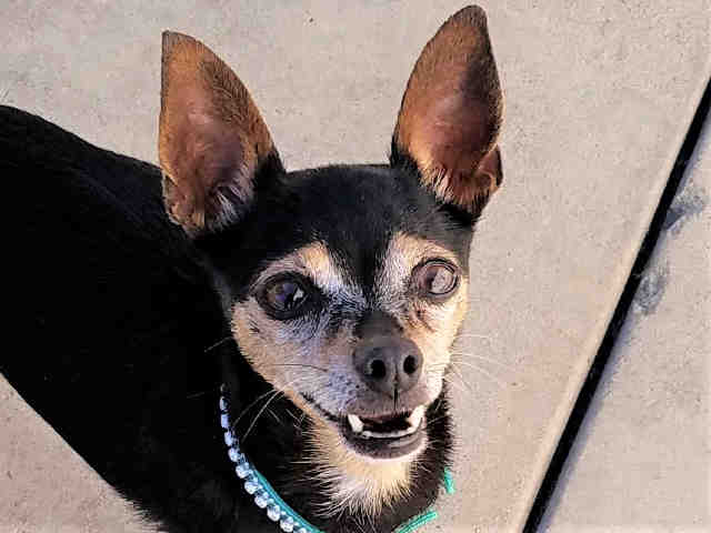 Lucy is an 8-year-old female black and brown miniature pinscher at the Central shelter in San Diego. Her ID number is A1796936.