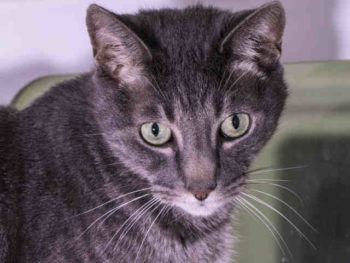 Buddy is a neutered blue tabby domestic short hair. He's 10 years young and at the Northern shelter in Carlsbad. His ID number is A1800785.
