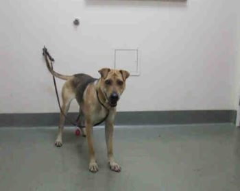 Bella is a spayed German shepherd-sharpei blend. She is 1 year, 8 months old and at the Northern shelter in Carlsbad. Her ID number is A1802643.
