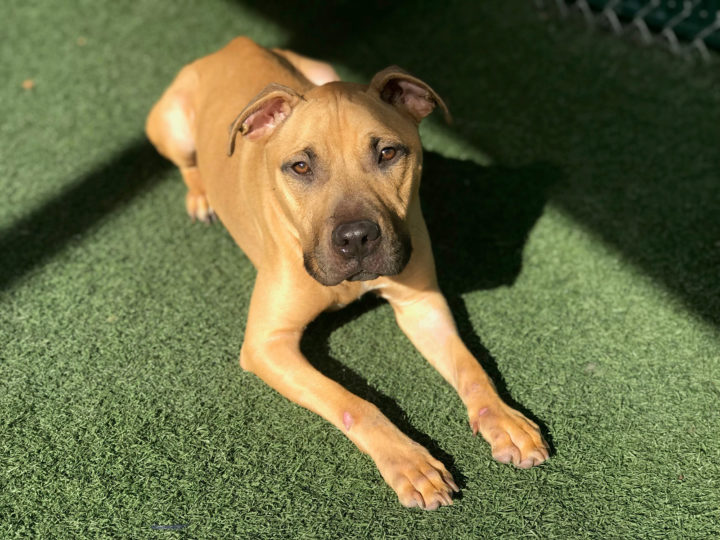 Pit bull mix lying down on artificial turf.