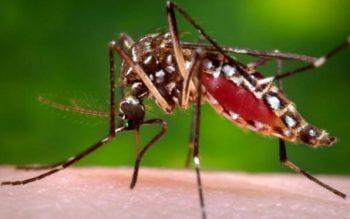 Aedes_aegypti_mosquito
