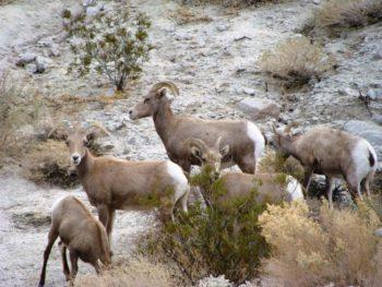 bighorn sheep near brush