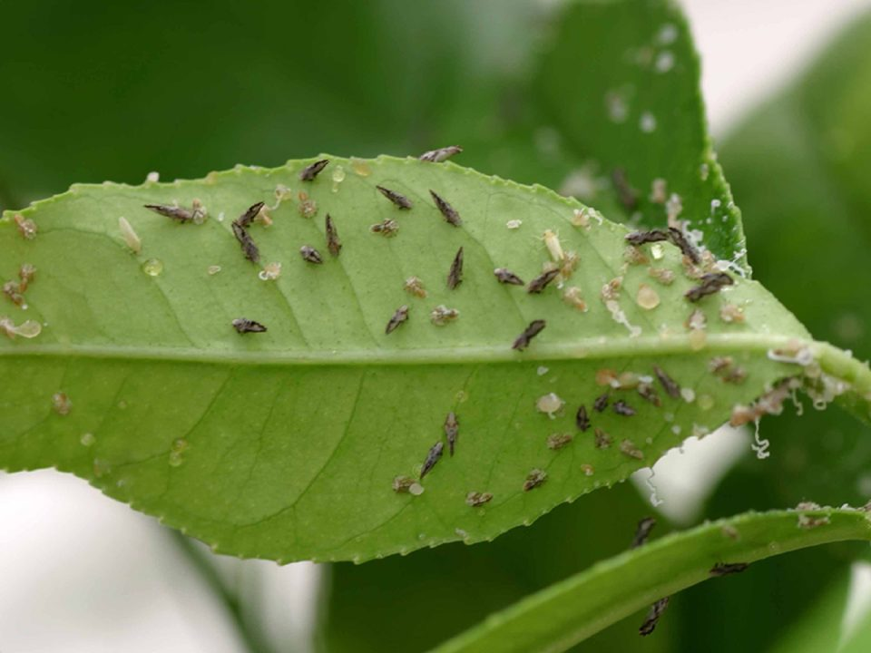 tiny bugs on leaves