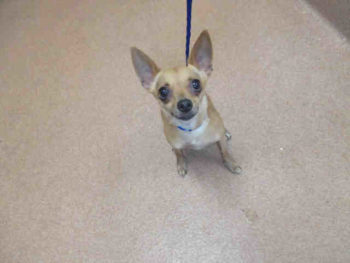 Bailey is a 4-year-old spayed tan Chihuahua at the San Diego Region shelter. Her ID number is A1727964.