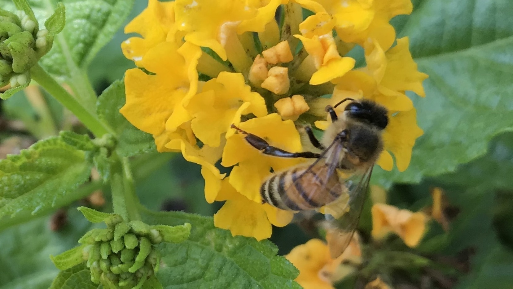 Friends of the Fallbrook Library Lecture: Bees & Pollinators