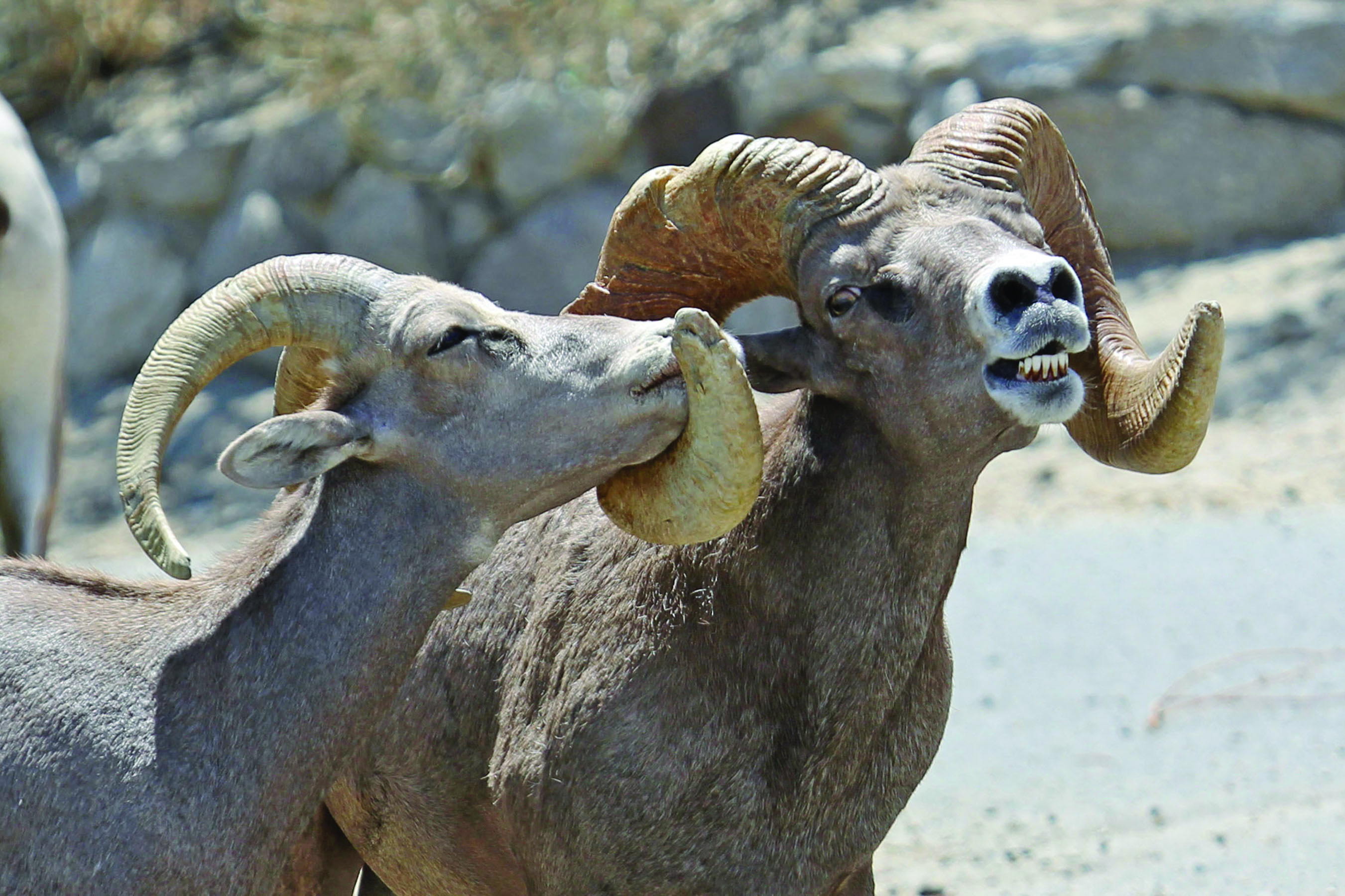 Desert Icons Bighorn Sheep News San Diego County News Center