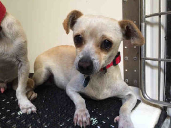 Buddy is a 3-year-old male cream/white Chihuahua blend at the North Region shelter in Carlsbad. His ID number is A1729573.