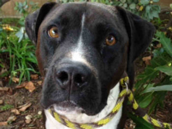 Buddy is a 2-year-old neutered seal brown/white pit bull blend at the San Diego Region shelter. His ID number is A1724317.