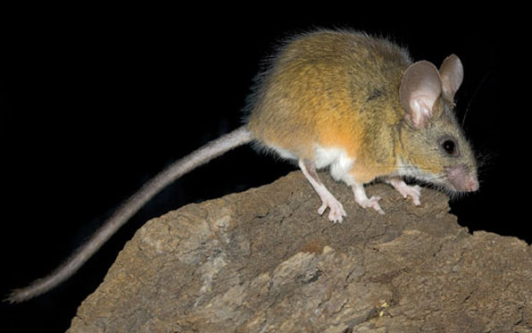 California_Mouse_596x373