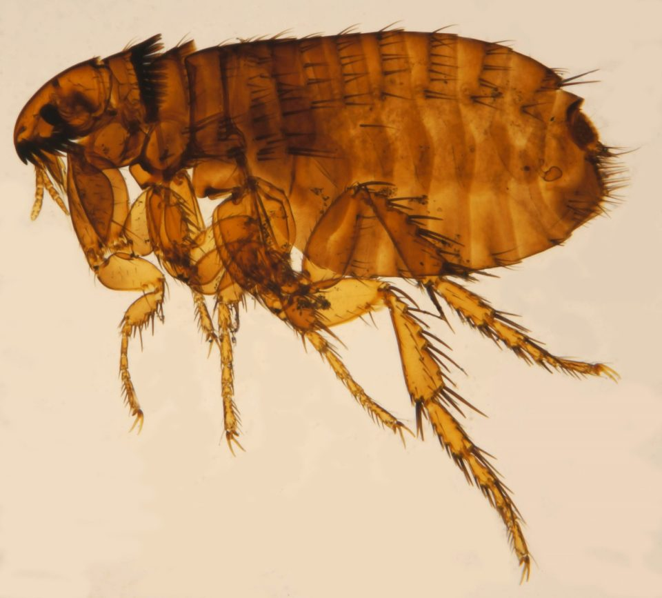 Cat Flea Ctenocephalides_felis_ZSM