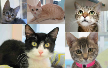 cat_adoptions_oct2016_collage