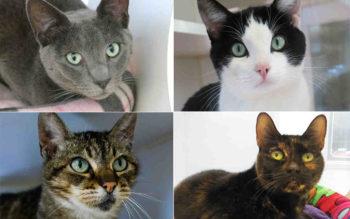 Cat_Adoptions_StPaddysDay_Collage
