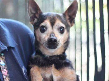 Chihuahua-A1764954