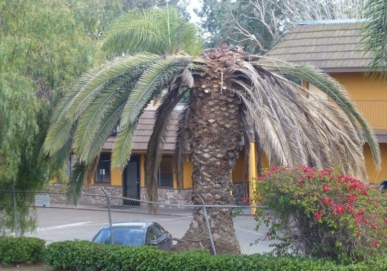Palm tree heavily damaged by South American palm weevil