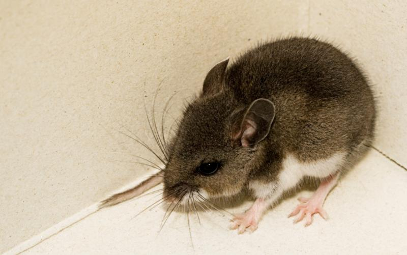 deer mice test positive for hantavirus news san diego county news center. Black Bedroom Furniture Sets. Home Design Ideas