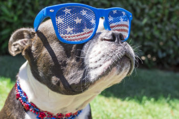 Boston Terrier wearing patriotic sunglasses