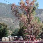 A eucalyptus tree in Potrero is covered in fire retardant .
