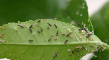 pests on a leaf