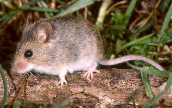 HarvestMouse_1