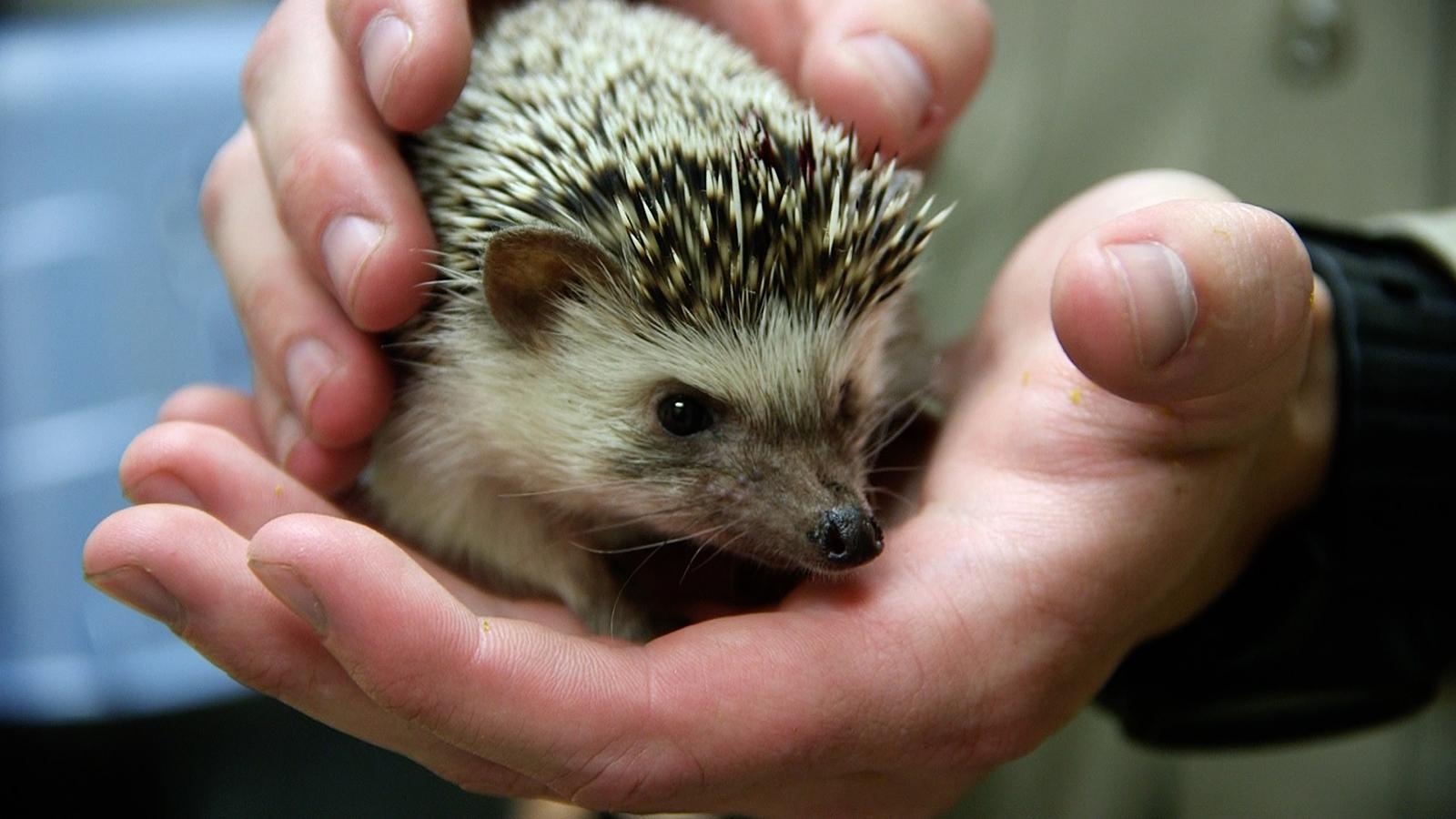 Hedgehogrescue1
