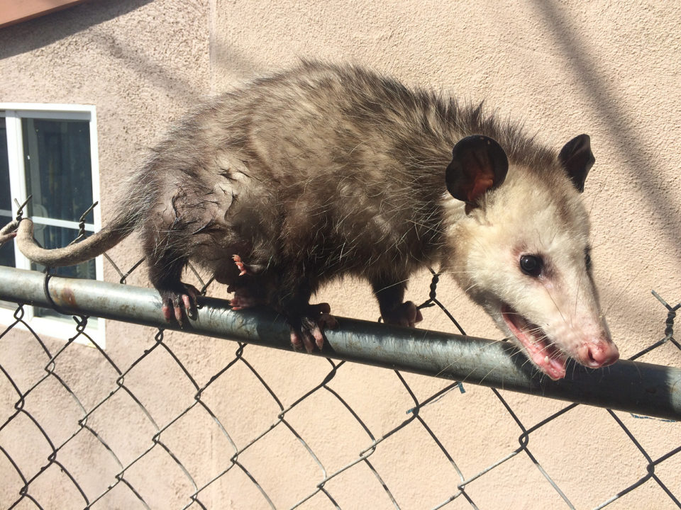 Opossum_Fence_032018