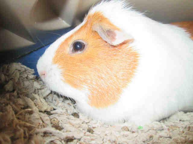 POTW-Guinea Pig