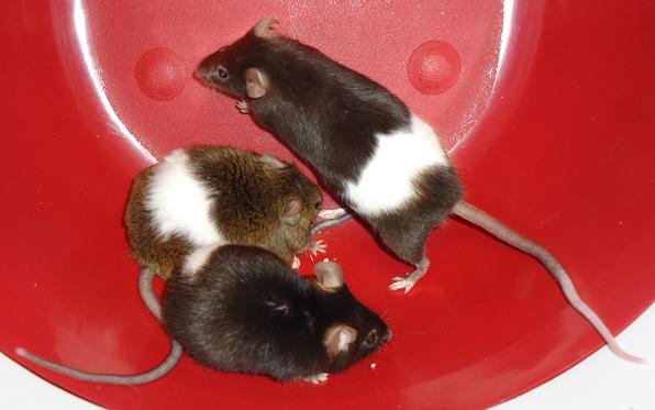 POTW-mice