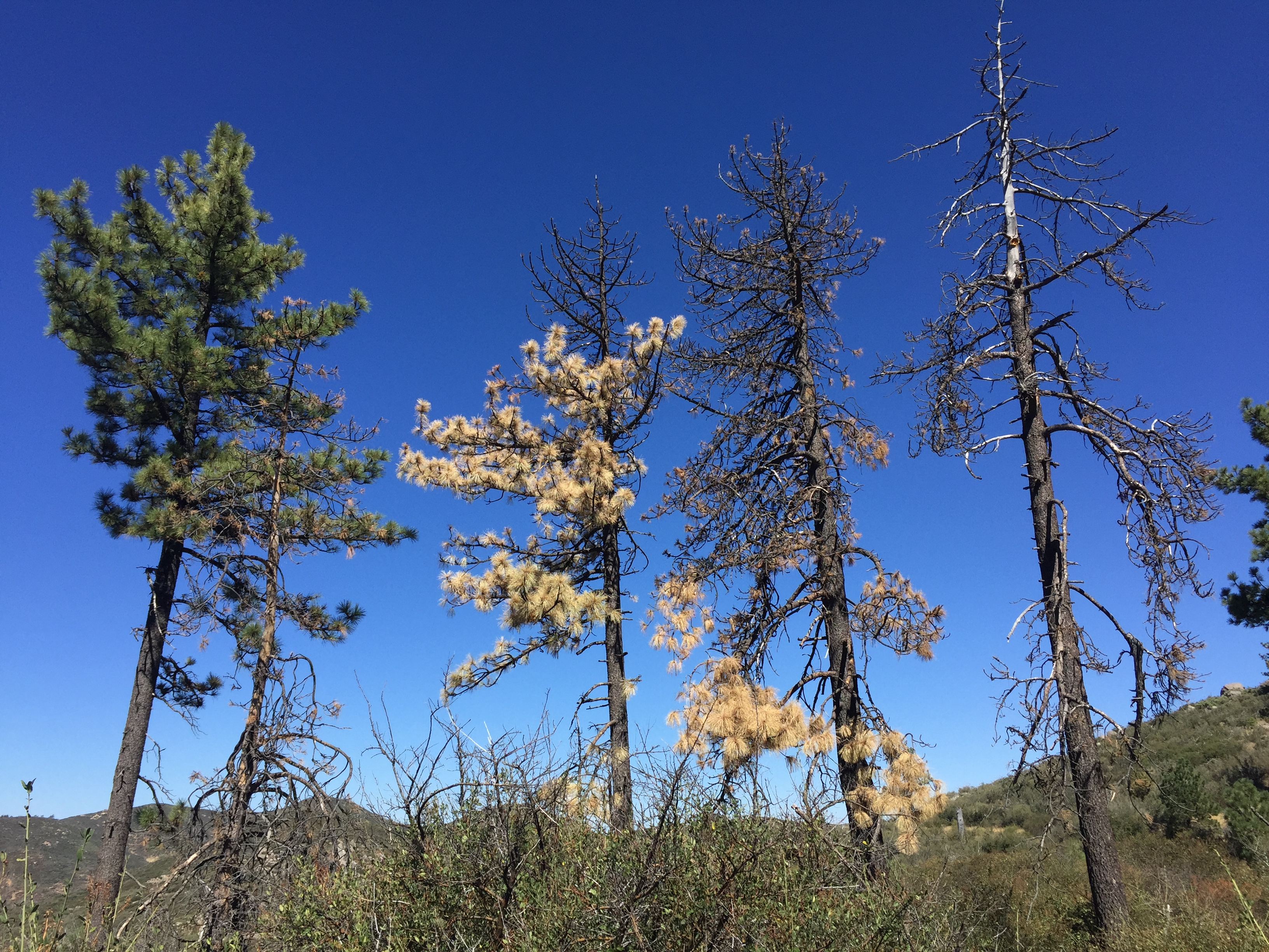 Three pine trees in the Mount Laguna area show the various stages of the drought.