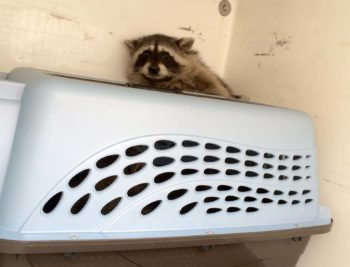 raccoon_rescue-002