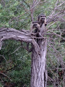 raccoons_tree-002