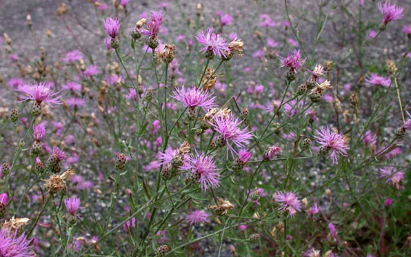SpottedKnapweed596x373