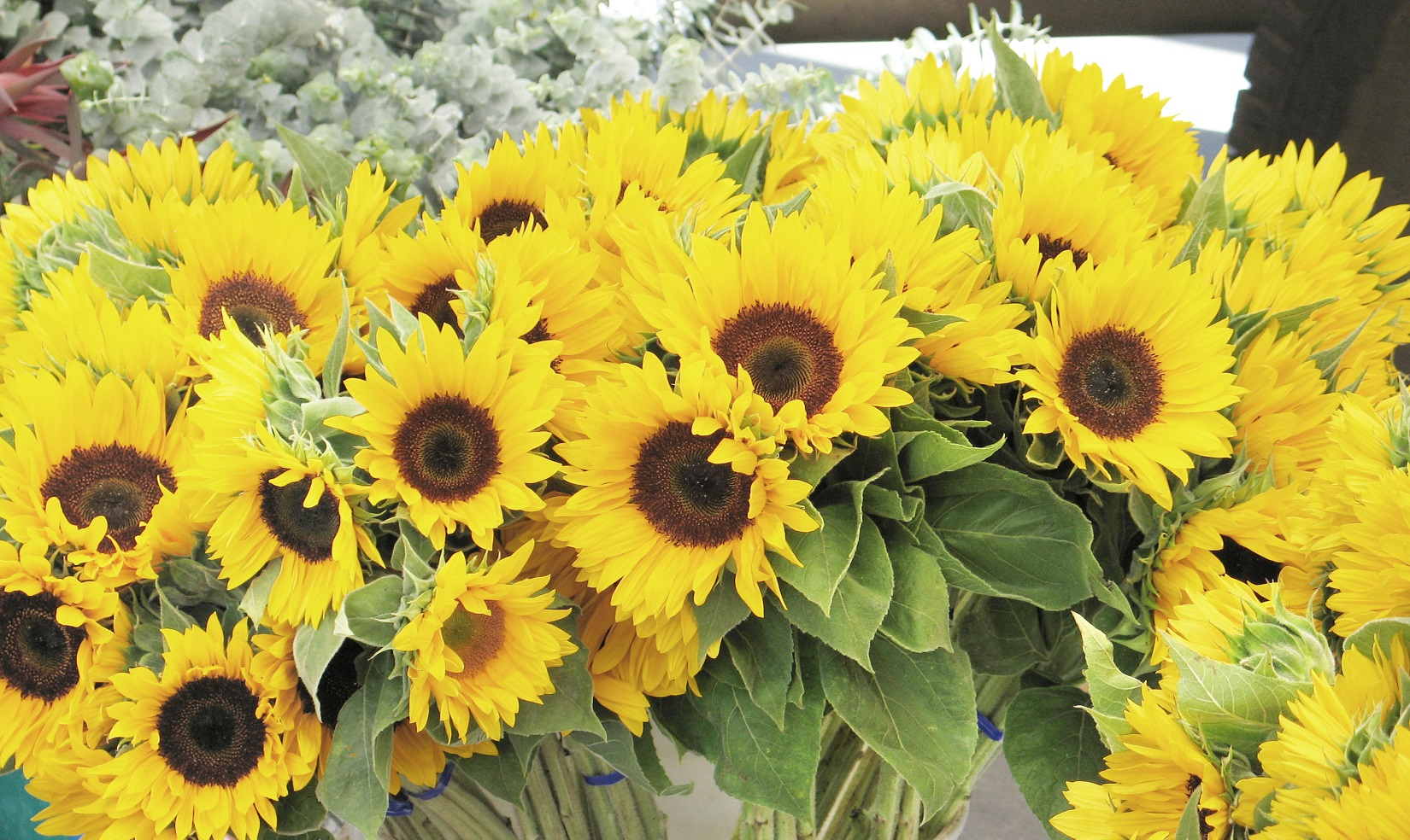 Sunflowers 2017 Crop Report for CNC