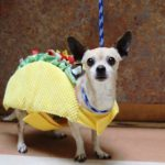 chihuahua_taco_costume