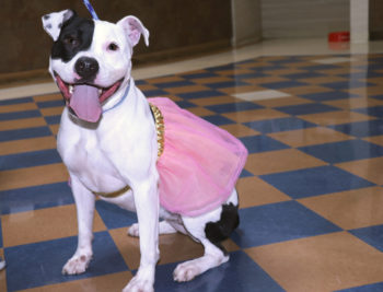 pitbull_princessskirt_smiling
