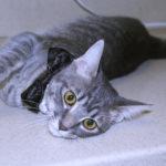 cat_bowtie