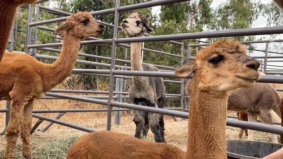 farm animals at the Bonita shelter