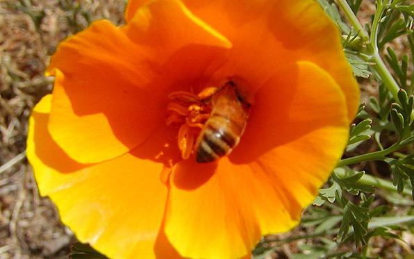 bee-in-flower