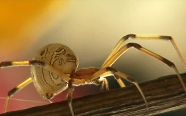 Brown Widows What You Need To Know News San Diego