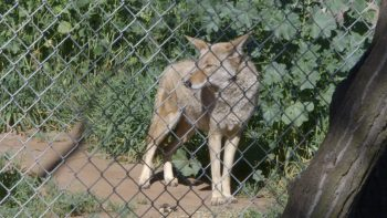 Coyotes: Villain or Vilified?