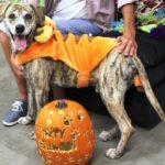 dog_tigger_costume_pumpkin