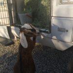 goat_hay_truck