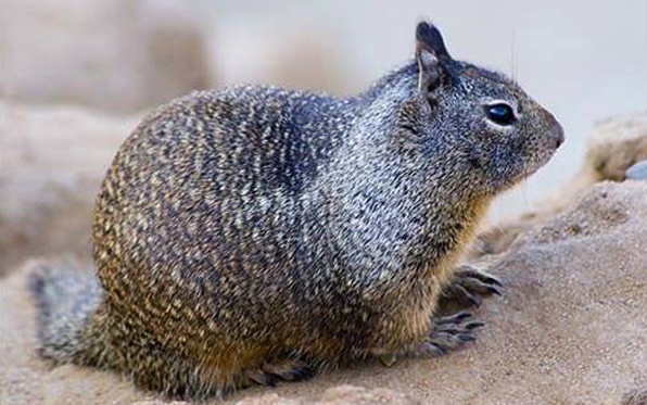 ground-squirrel_1