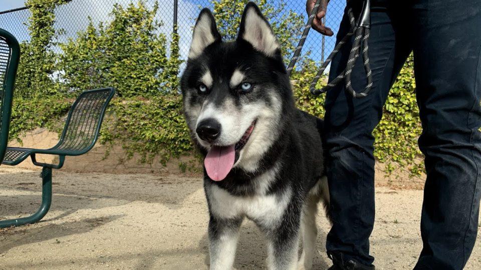 husky dog on leash