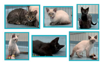 Six kittens available for adoption.