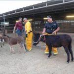 mini_donkeys3