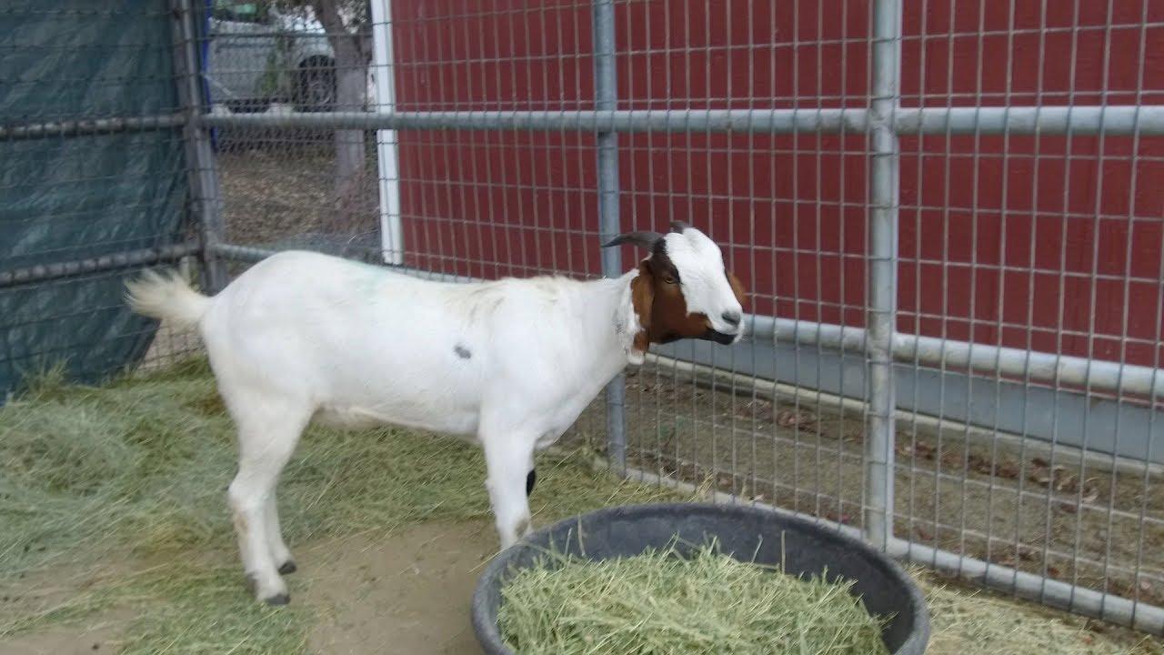 Pet of the Week – Boer