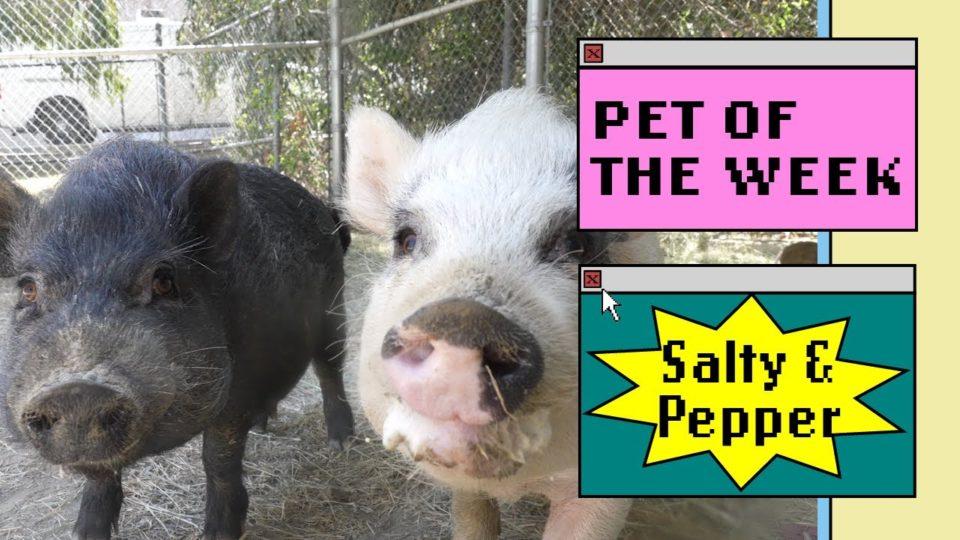 a black pig next to a white pig