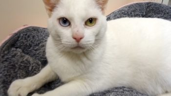 Pet of the Week – Snowy